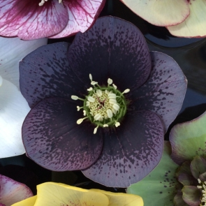 Dark hellebore hybrid with black spotting
