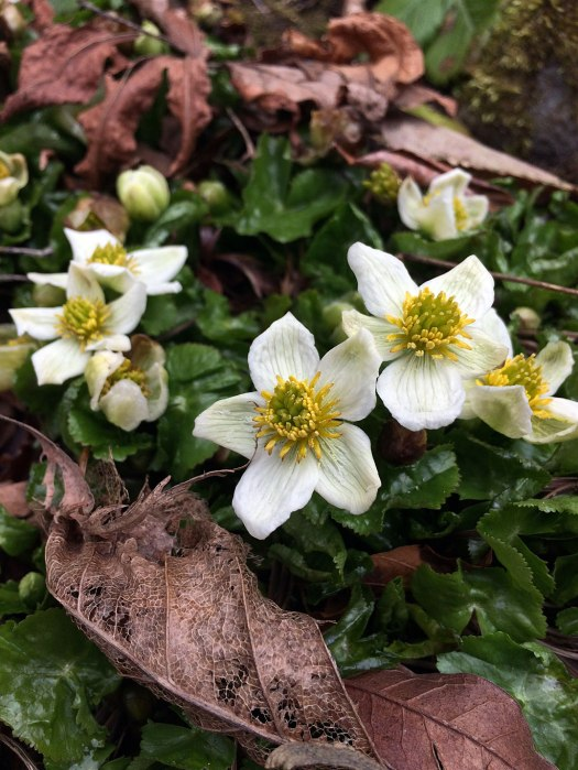 Low growing white flowers among last year's fallen leaves