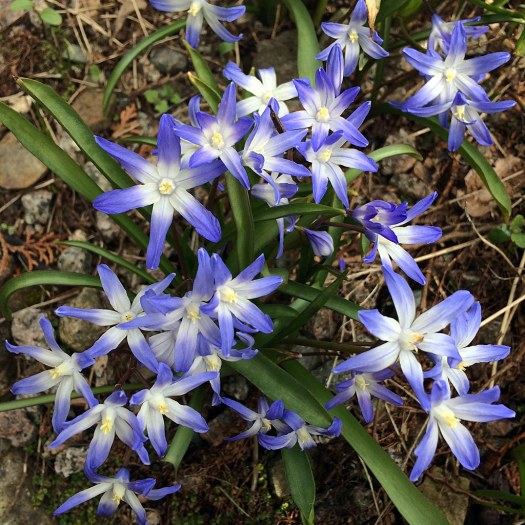 Blue star shaped flowers with white centres