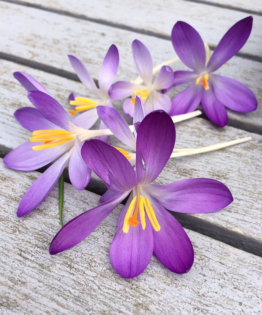 Crocus flowers, picked, lying on a slatted garden table