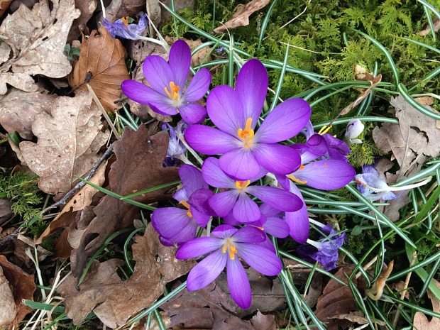 Crocuses growing among dead tree leaves and moss