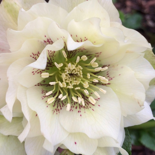 Close up of a double flowered hellebore