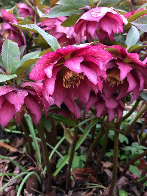 A cluster of double hellebore flowers on sturdy stems