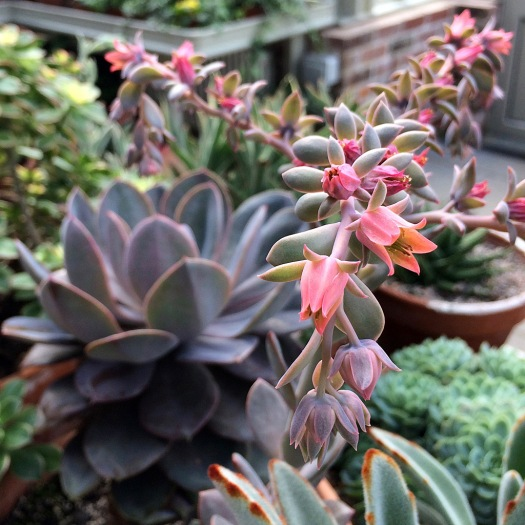 Succulent plant with a branched spike of orange flowers