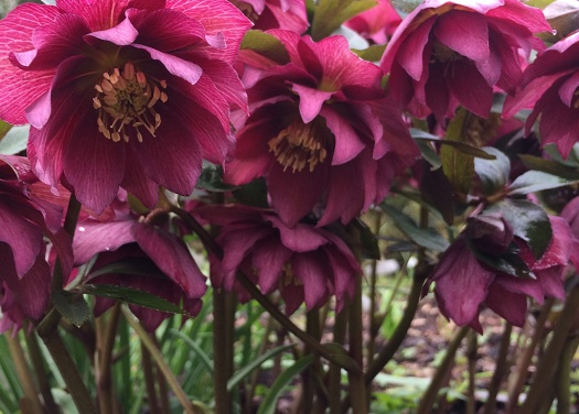 Looking upwards at a group of double hellebore flowers