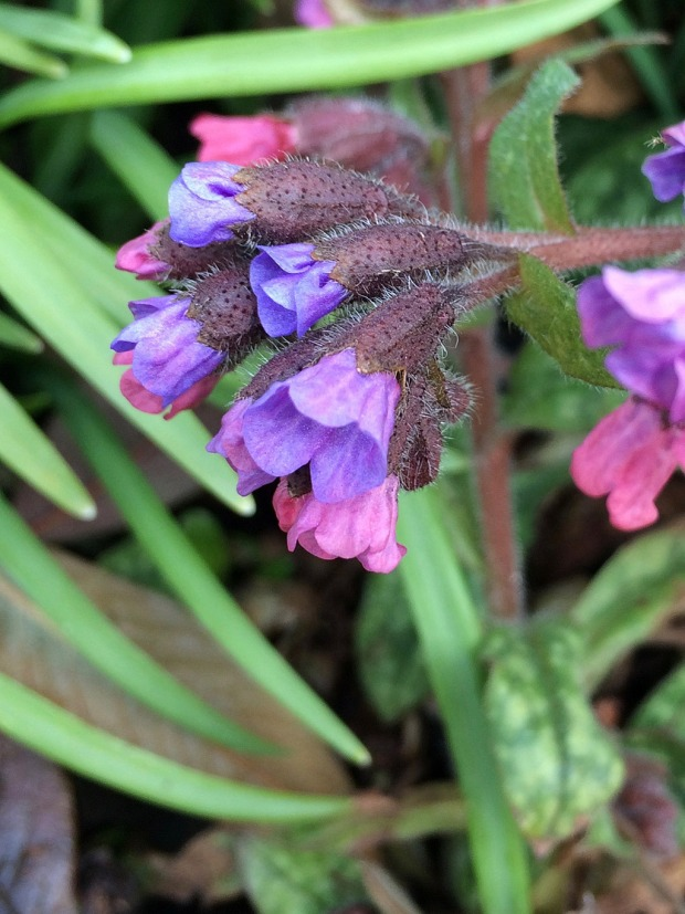 Furled blue and pink flowers on hairy stems