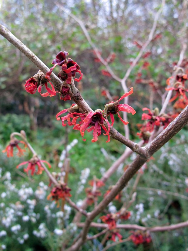 Bare branches with red spidery flowers