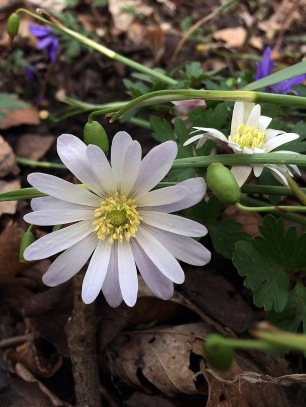 White flowers - one fully open, one partially open