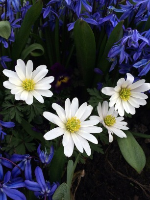 Clear white anemones with deep blue scillas