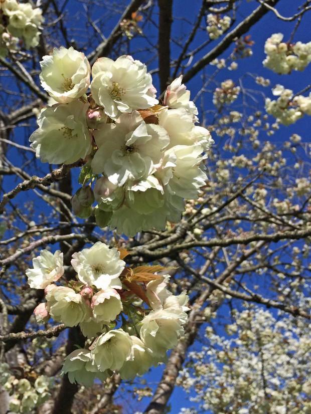 Creamy white double blossom
