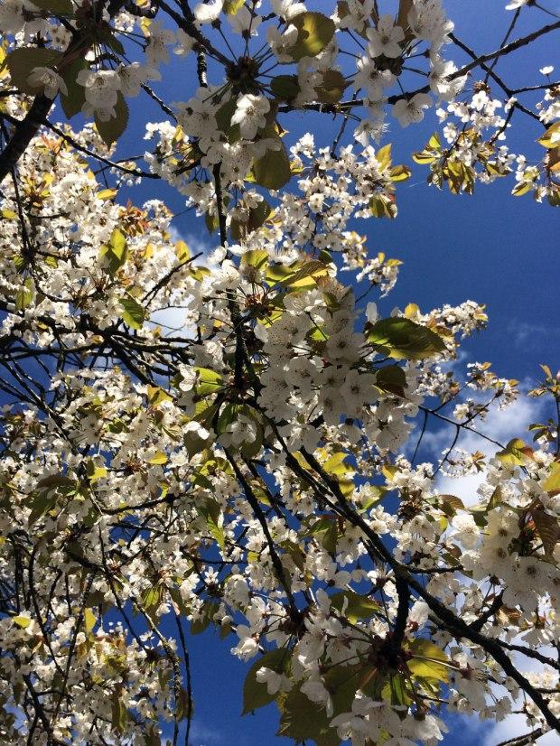 Blossom against a blue sky