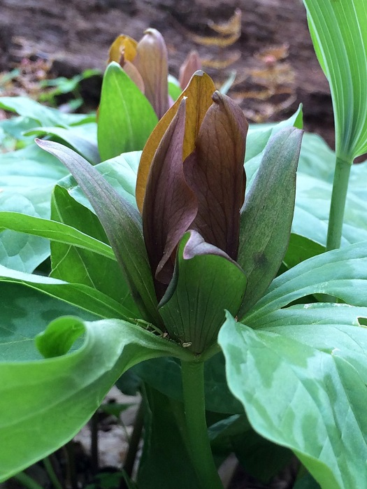 Trillium with brown flower