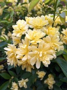 Yellow rambling rose