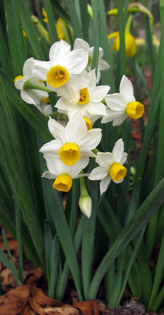 Small daffodils peeking out from the foliage of taller ones