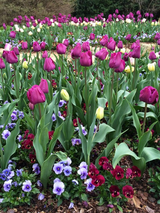 Rows of tulips underplanted with pansies