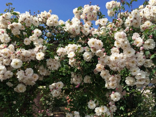 Rambling rose covering a doorway in blooms