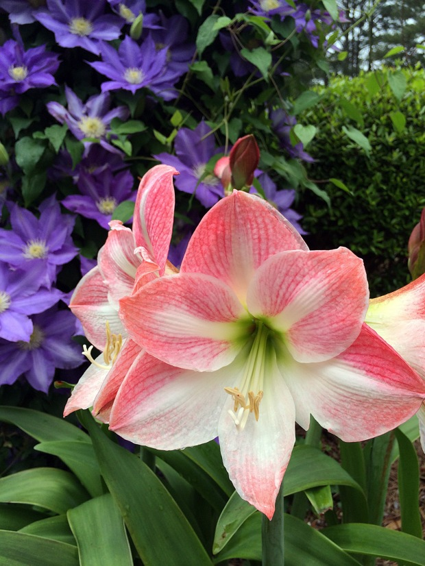 Pink and white amaryllis flowers in front of a purple clematis