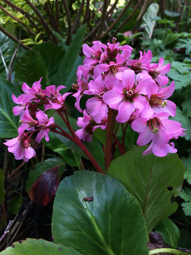 Bergenia leaves and flower scapes