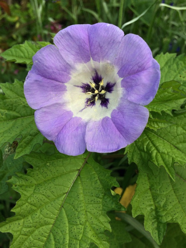 Purple flower with white centre and deep purple star