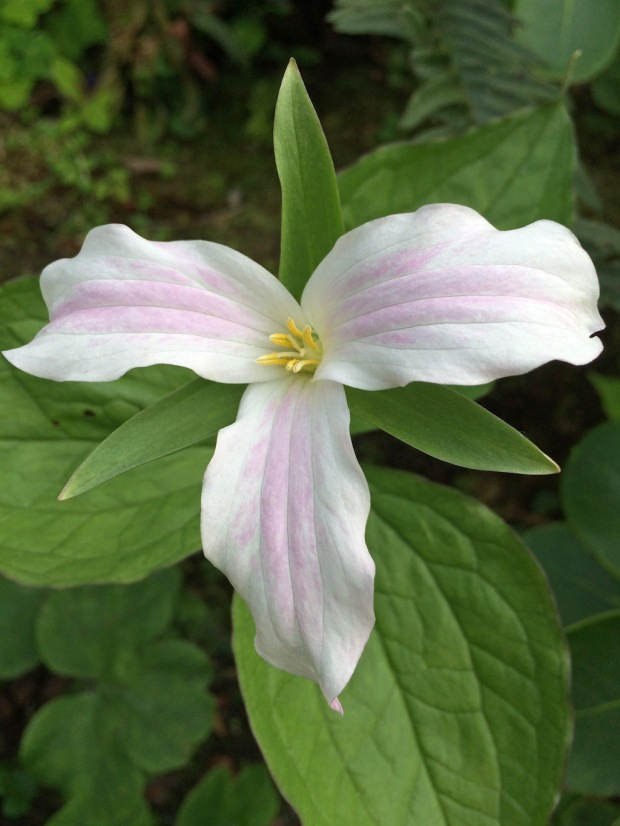 Trillium flower with three leaves and three petals