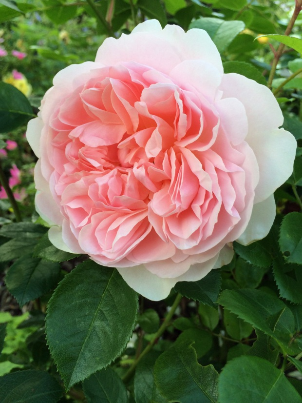 Fully double rose with many pink petals