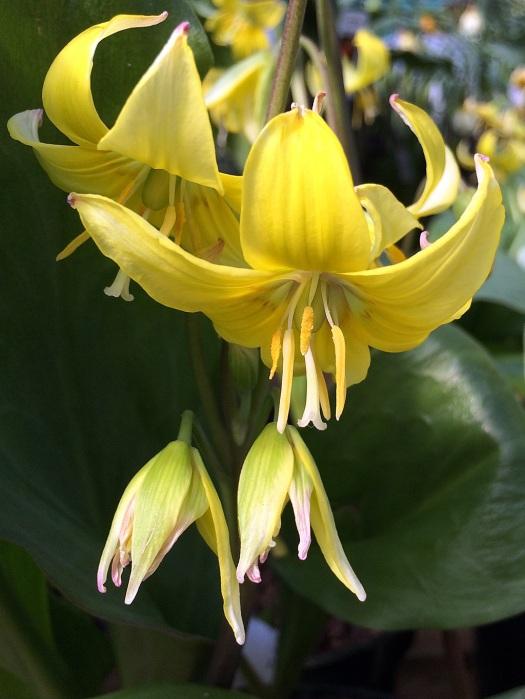 Yellow pagoda lily