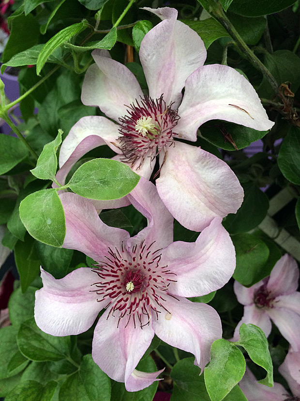 Pink clematis flowers with dark stamens