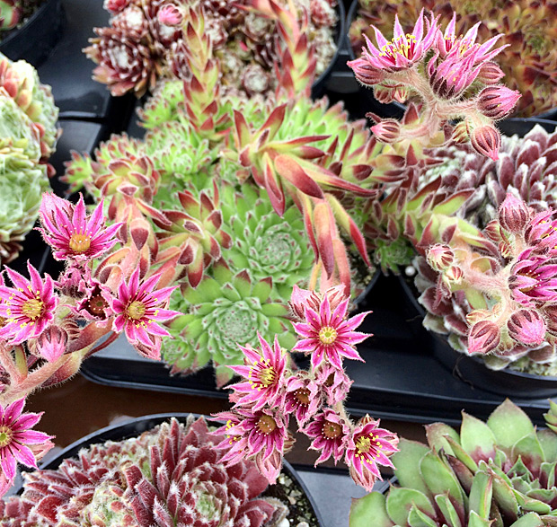 Sempervivum with scapes of pink, starry flowers