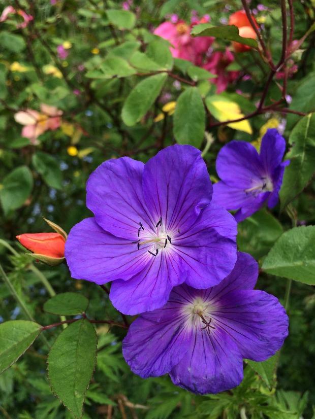 Purple blue geranium and pointed orange rose bud