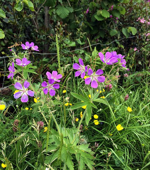 Wild geranium in a meadow