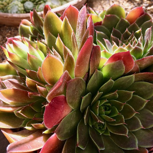 Hens and chicks leaves colourful in the sun