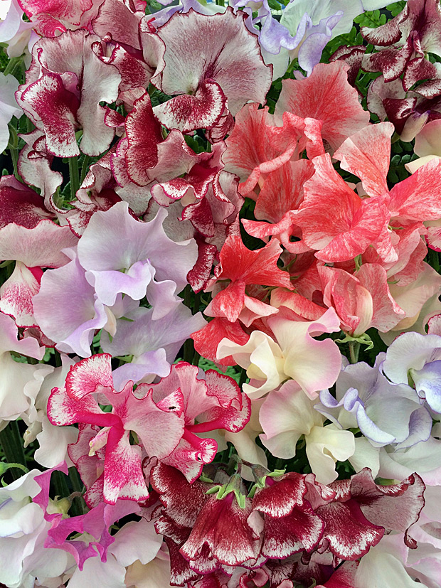Sweet peas in mixed colours with streaks and splashes