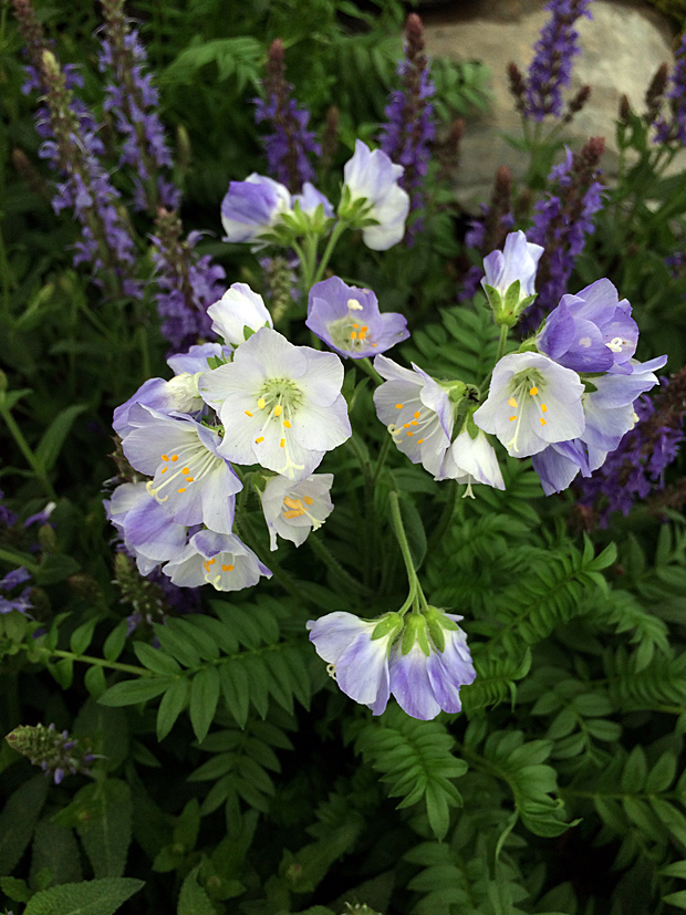Polemonium cultivar with blue backed flowers, lighter inside