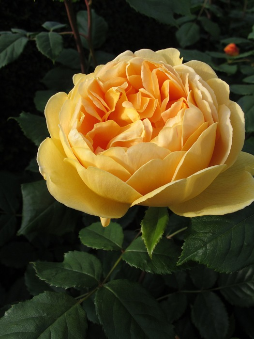 Yellow rose makes a splash of colour in the darkness