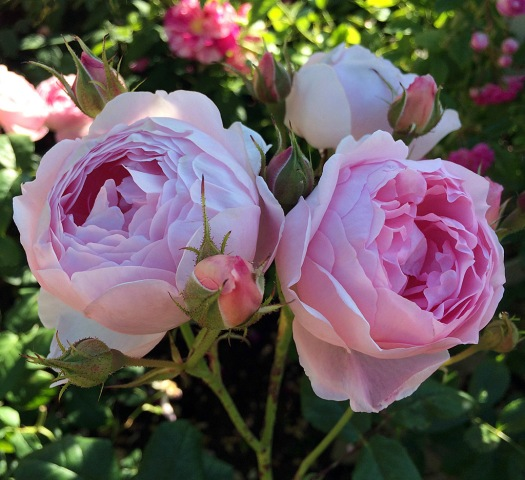 Pink rose with chalice shaped blooms