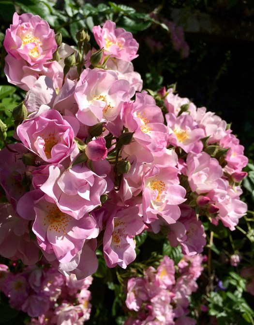 Small pink semi-double roses facing the sun