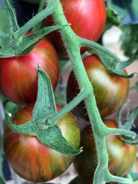 Tomato with attractive streaked patterning