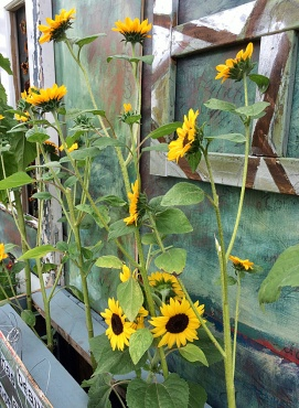 Multi-stemmed sunflowers against a hand painted wall