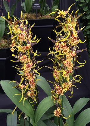 Orchid with spires of yellow, red and chocolate flowers