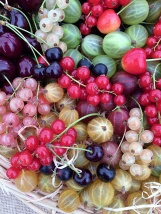 Basket of cherries, gooseberries and currants