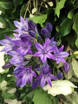 Starry blue flowers
