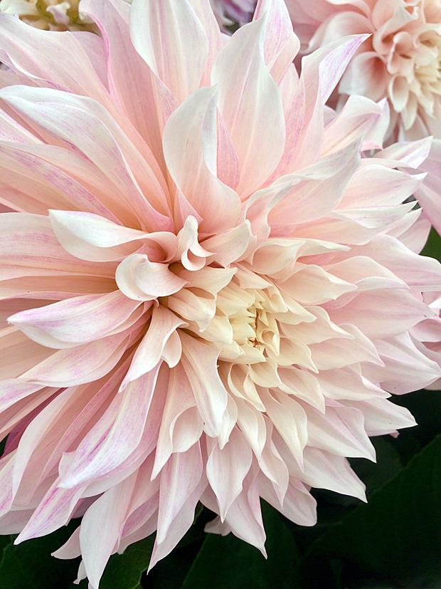 Giant dahlia with soft peachy cream petals