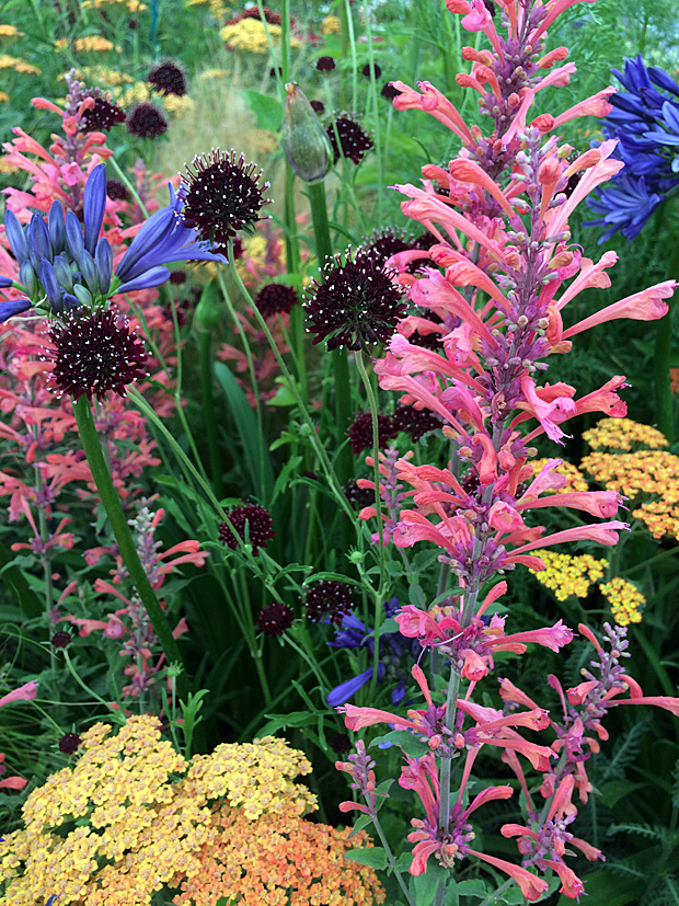 Coral coloured agastache with companion flowers