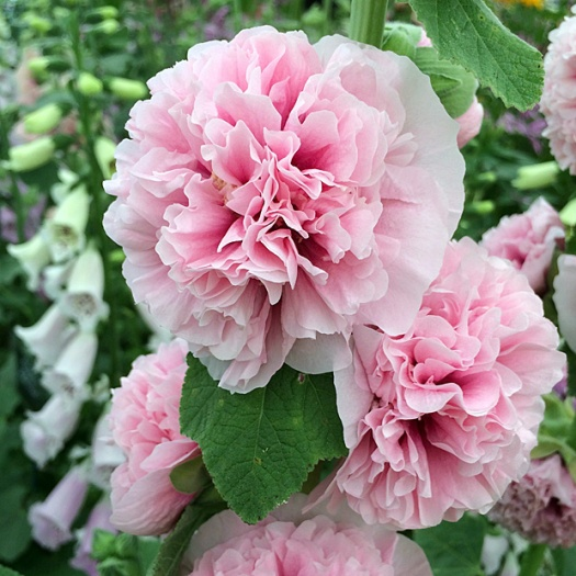 Double pink hollyhock with foxgloves