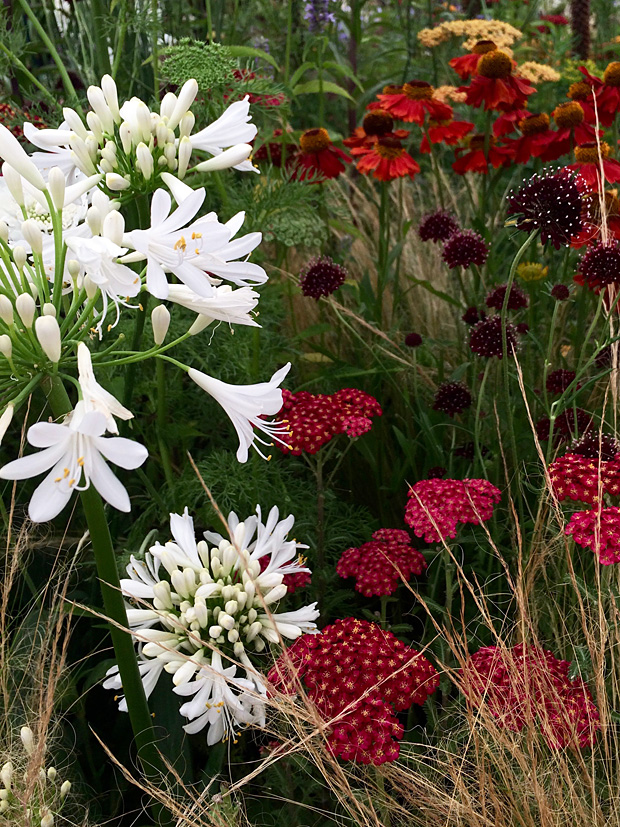 White agapanthus with ornamental grass and richly coloured flowers