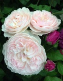 Pale pink roses with deep pink rosebuds