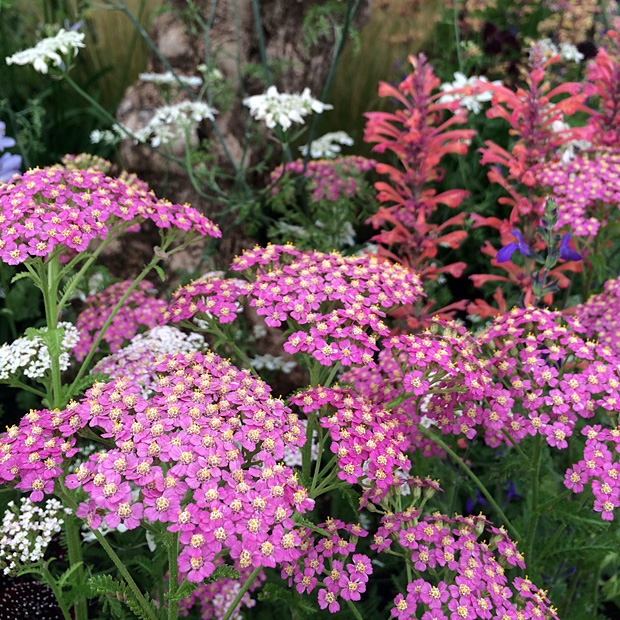 Pink achillea with coral coloured hyssop