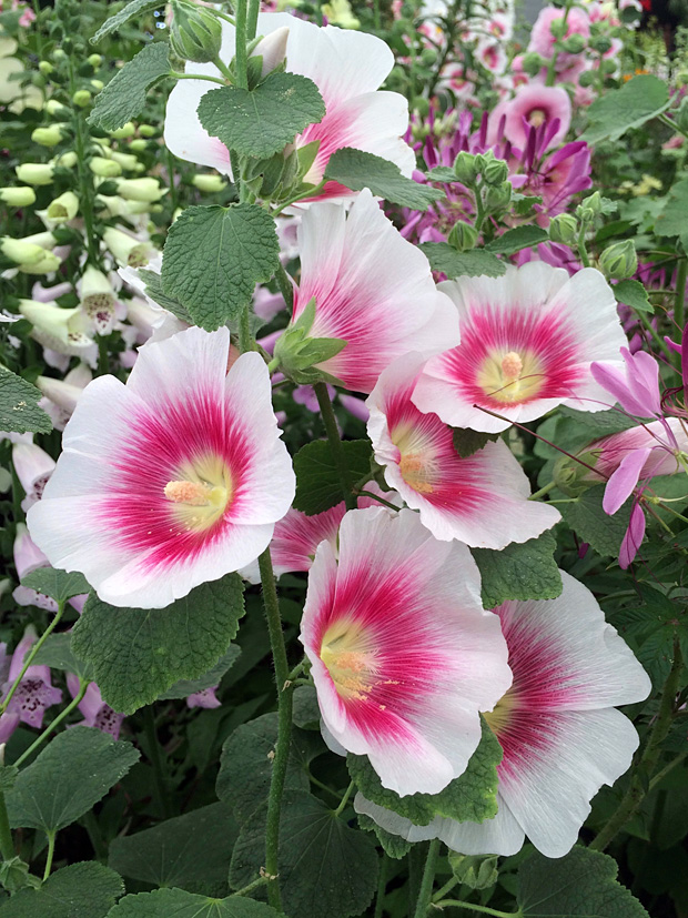 White hollyhock with bold blush stain around a yellow centre