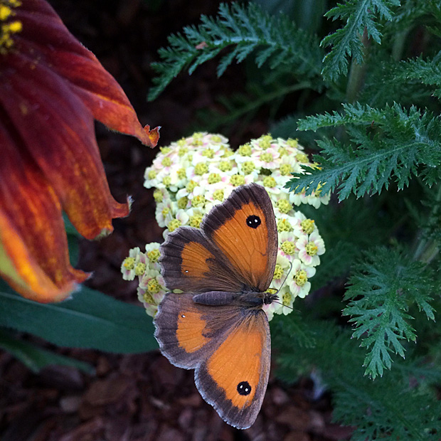 Butterfly on achillea flower