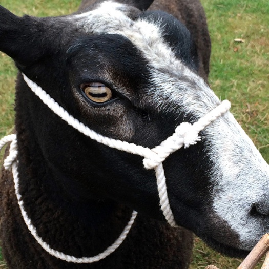 Face of a goat with a harness